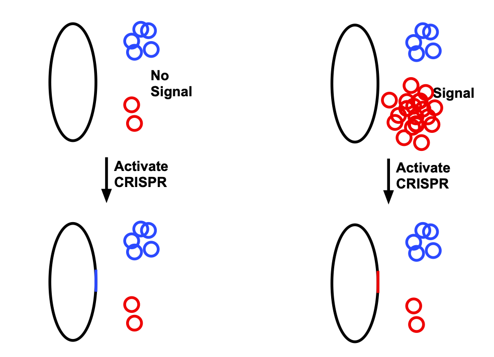On the left, without any indication, the red plasmid is present at low levels.  When CRISPR is activated, it is more likely that the sequence of the blue plasmid will be introduced into the genome.  On the right, when the signal is present, there is a lot of red plasmid, so it is more likely to be inserted into the genome.