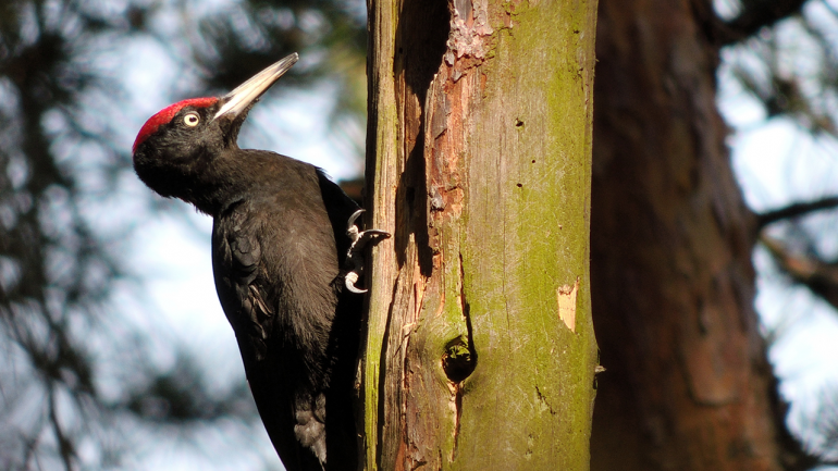 Video Explaining Why Woodpeckers Are Not Attached to Trees |  Science